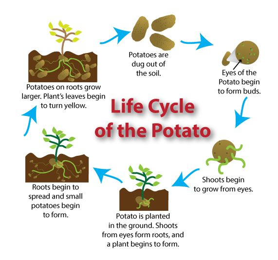 lifecyclepotato